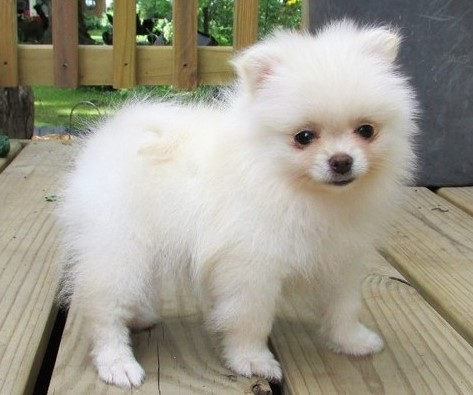 Pomeranian Puppies for Sale Under $300