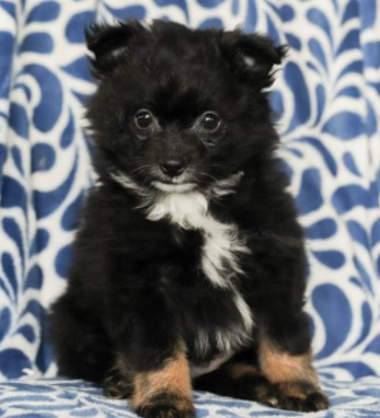 Pomeranian Puppies for sale under $1000