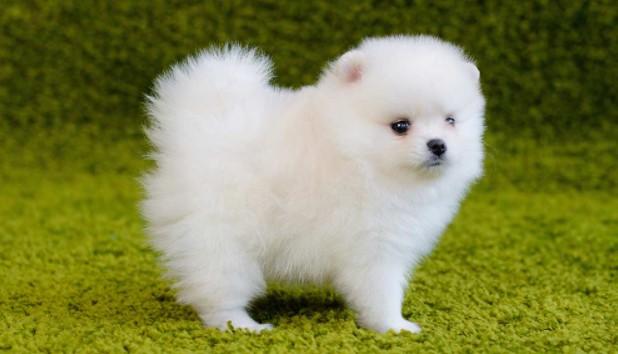 Pomeranian Puppies1