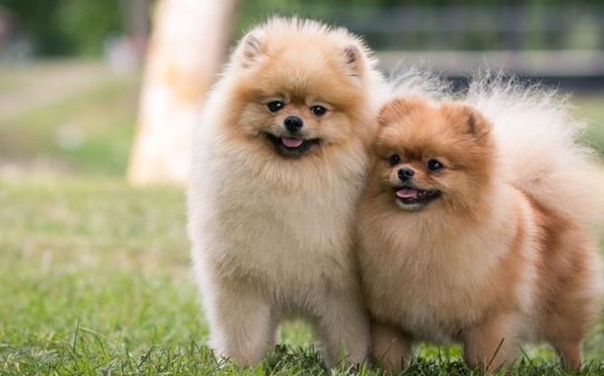 Pomeranian Sperm for Sale
