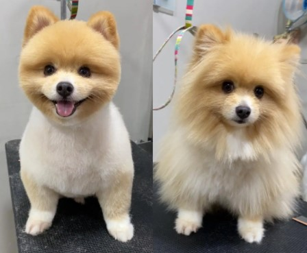 Pomeranian Teddy Bear Cut Before and After