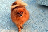 Red Pomeranian-