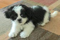 Shih Tzu Pomeranian Mix Black and White