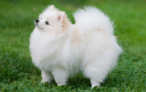 Should You Cut or Shave a Pomeranian in the Summer
