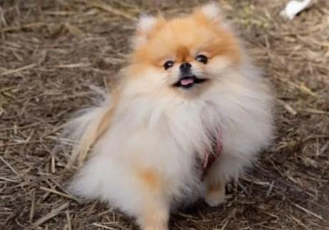 Sit Trick Pomeranian Puppy