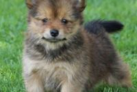 Teacup Pomeranian Yorkie Mix Puppies for Sale