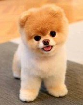 The Look of Pomeranian dog with a Teddy Bear cut
