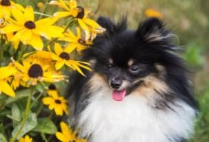 Tri-Colored Pomeranian