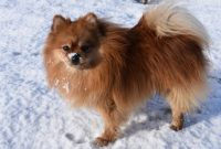 What Temperature is Too Cold for a Pomeranian