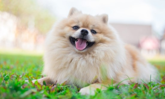 What Temperature is Too Hot for Pomeranian