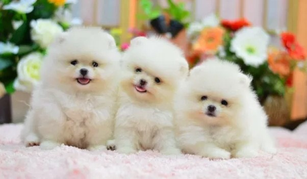 Where is the Best Place to Get a Pomeranian