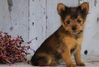 Yorkie Pomeranian