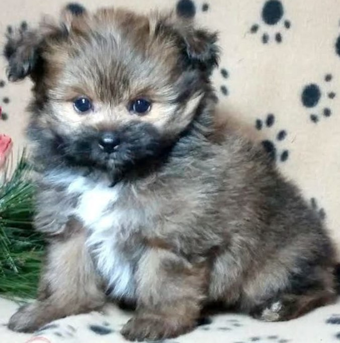 Yorkie Pomeranian Mix
