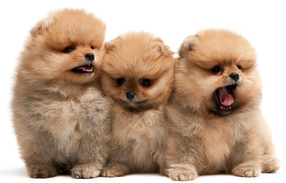 best milk Pomeranian Puppy
