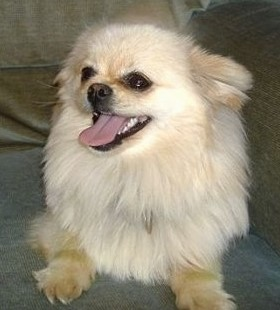 picture of Jessy. She is a 2-year-old female Pomchi.