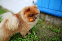 pomeranian eat carrot